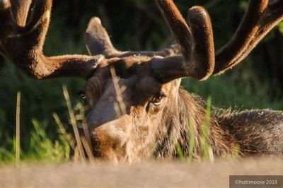 """Meet Bruce... he's """"the boss"""" #lookingatme #moose #bull #wildlife #nature #ontario #ontarioparks #algonquin #algonquinpark #discoveron #yourstodiscover #getoutside #opcmag #eyelashes #hottmooseadventures"""