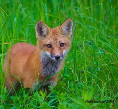 #photooftheday #fox #redfox #wildlife #canadianwildlife #wildlifeontario #discoveron #naturelovers #animallovers #naturephotography #ohcanada???????? #hottmooseadventures
