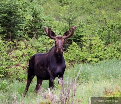 Meet Spike... he was skiddish as well. Only 5 x pics and he dashed away #moose #wildlife #Nature #algonquin #algonquinpark #hottmooseadventures