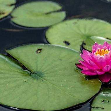 A Lotus of Spring