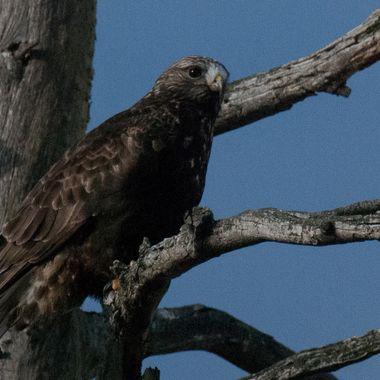 JRE_0261 Hawk