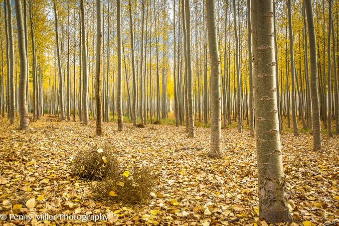 Boardman tree farm in fall by pennymiller - It is Yellow Photo Contest