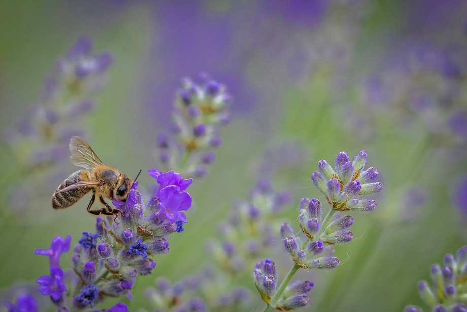 Honey Bee in the Lavender