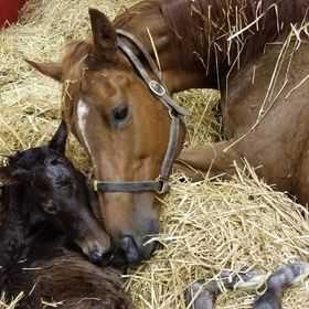 Post foaling, a mare meets her new foal, a colt, for the first time. In her former career, this mare was a stakes winner. Pure class... (Thorough...