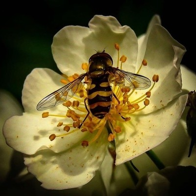 American Hoverfly feeding on Multiflora Rose nectar.  #trailsend #americanhoverfly #multiflorarose #macro #macrophotography #insects #wildflowers #closeup #wander #outthebackdoor #backyardnature #canon_photos #canonwhatelse #pocket_flowers #raw_flowers #p