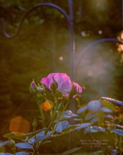 "2018.06_Sunbeams on ""Wedding Party"" rosa_IMG_EN4A0558"