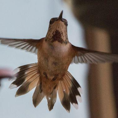IMG_7998 Hummingbird