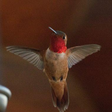IMG_7992 Hummingbird
