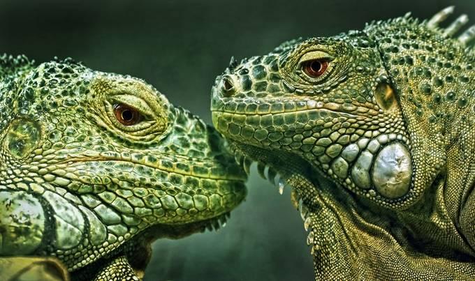 Iguana 2 by Alexander_Sviridov - Reptiles Photo Contest