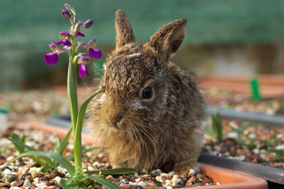 Native Orchid and young Hare