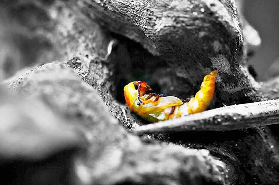 Eine Verpuppung/Metamorphose eines Mehlwurms in einen Käfer