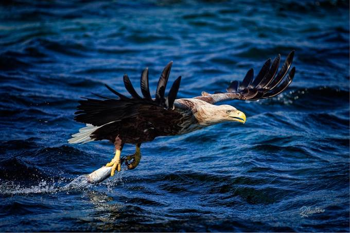 Eagle catch 2 by RiccardoMantero - Covers Photo Contest Vol 48