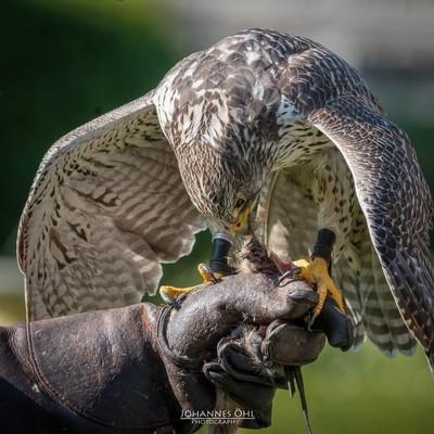 Gyrfalcon (Falco rusticolus) on the fist of a falconer