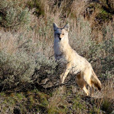 IMG_0801-2 Coyote