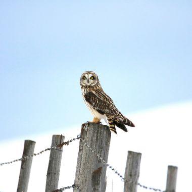 IMG_7488 Shorteared Owl