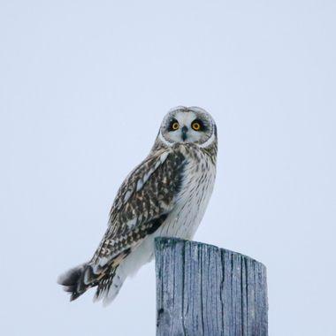 Short Eared Owl 10