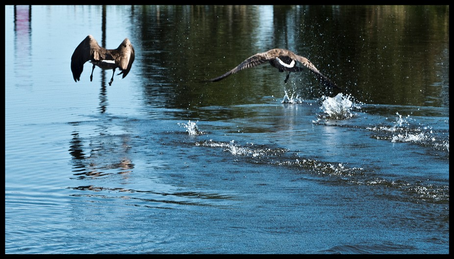 A pair of geese are raising gosslings on the pond. Another goose has been trying to break up the ...