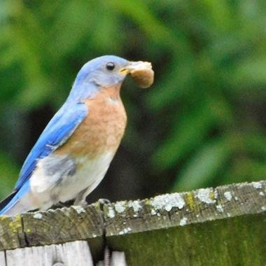 Blue bird with food