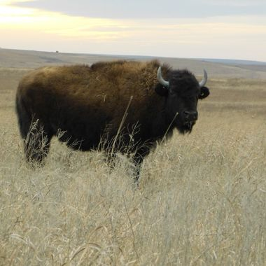 Buffalo at sunset on the prairie