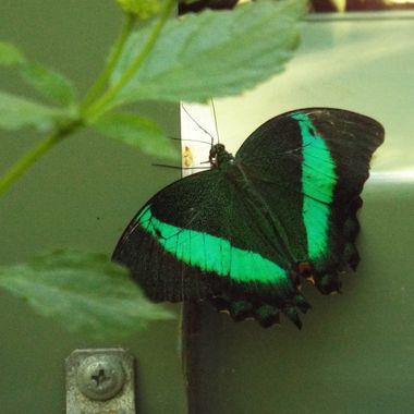 Taken in the Butterfly Sanctuary on Mackinaw Island.