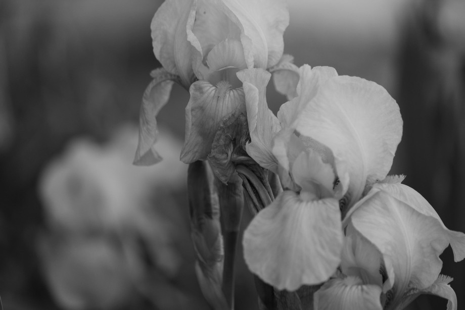 Iris are such elegant and graceful flowers. I wanted to show them in all their classic beauty by highlighting them in black and white showcasing there timelessness.