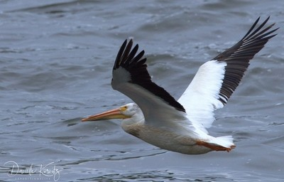 American White Pelican in Flight (1)
