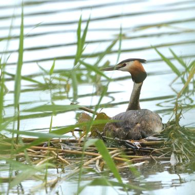 Great crested grebe on the nest (Podiceps cristatus)