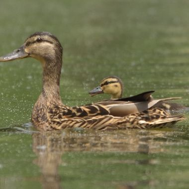 Young Mallard (Anas platyrhynchos), real wildlife