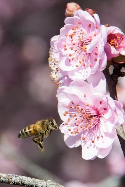 Cerezo en flor y abeja