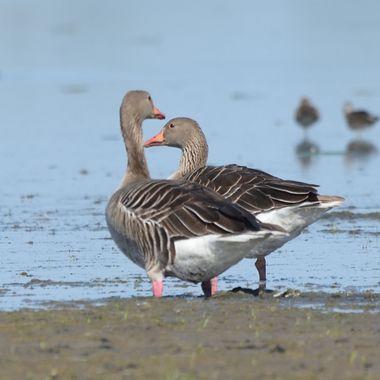 Greylag goose (Anser anser), real wildlife
