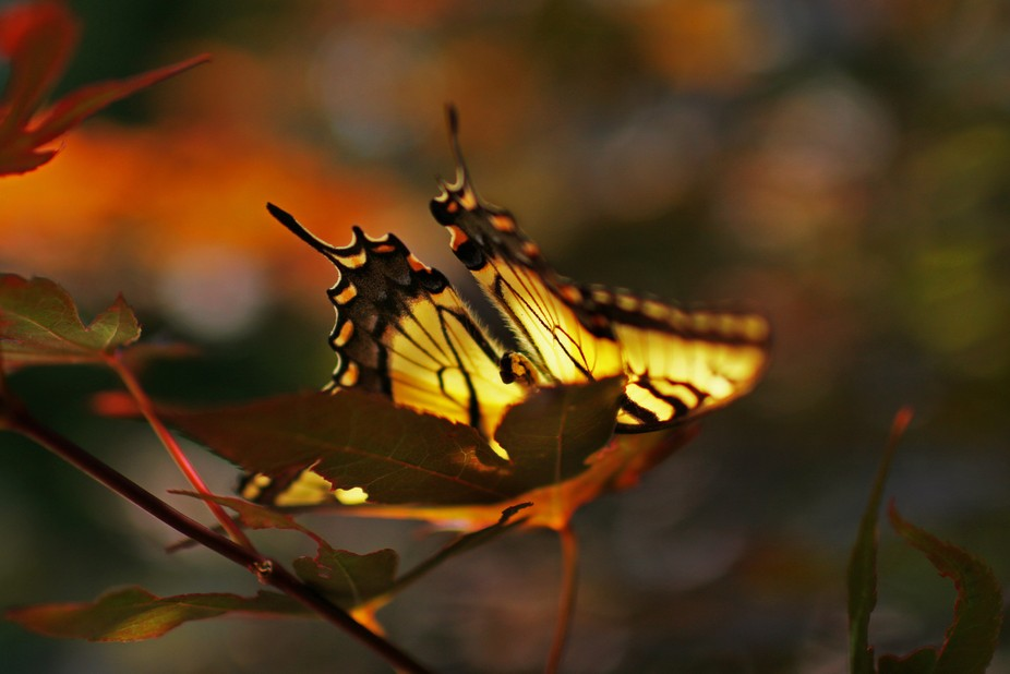 Butterfly on a red maple leaf