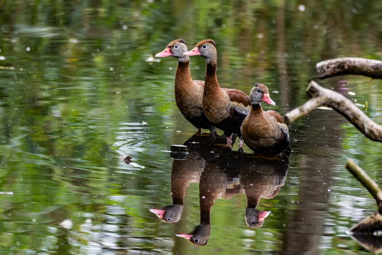 Whisteling Ducks (Reflection)