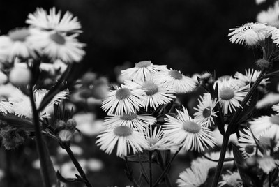 Daisy Clusters