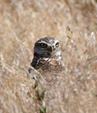 Antelope Island Burrowing Owl