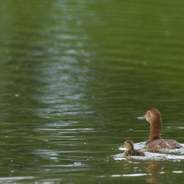 Common pochard, female + young (Aythya ferina)