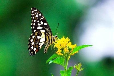 The common Lime Butterfly