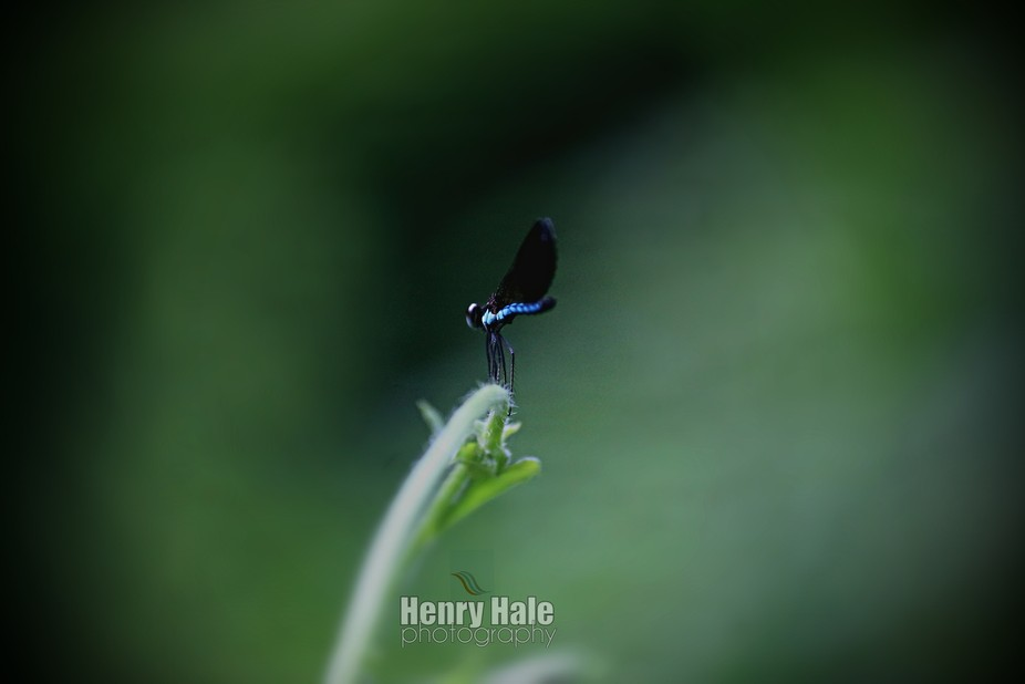 A hovering dragonfly taking a break on the tip of a fern