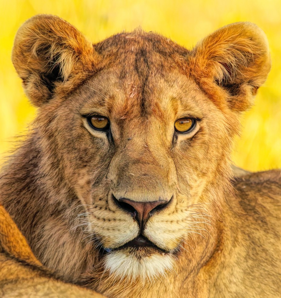 Lion Portrait by Jekawrig - It is Yellow Photo Contest