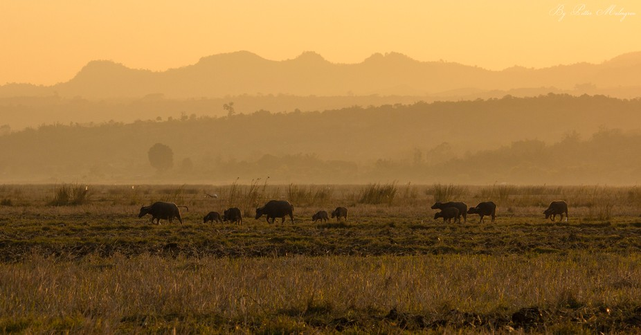 A herd of water buffalos walking home to their over night pound in twilight. Shan State, Myanmar.
