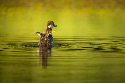 Young goldeneye flapping its little wings