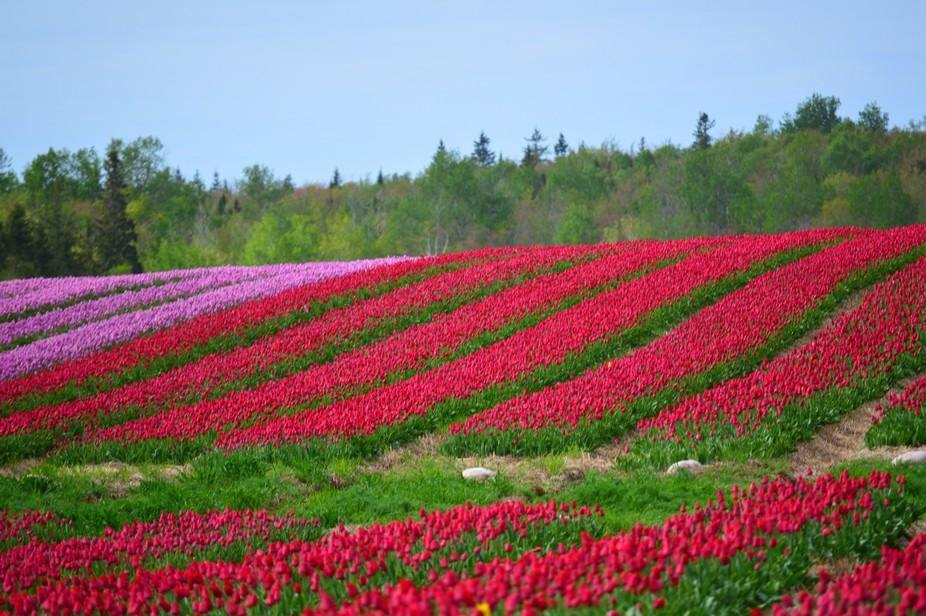 Tulip fields in PEI
