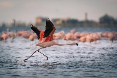 Flamenco en vuelo en Mar Chiquita