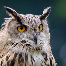 Captive Eurasian Eagle Owl at Bolton Castle