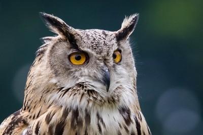 Captive Eurasian Eagle Owl