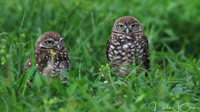 Burrowing Owl Brothers by lindajoliver - Beautiful Owls Photo Contest