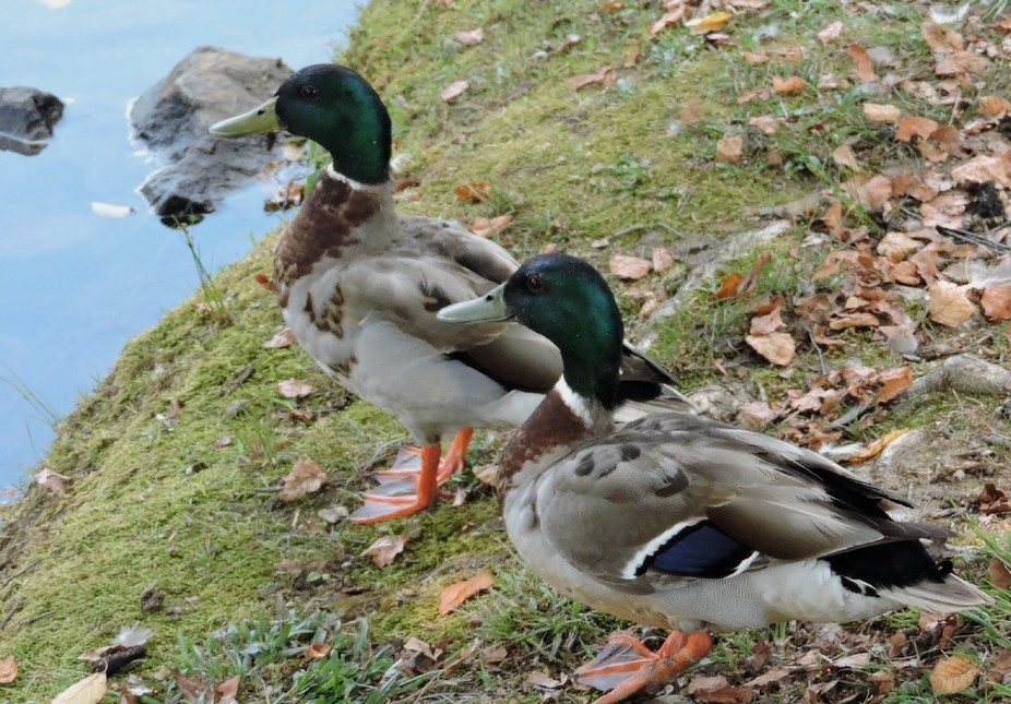 two young ducks taking in the sights. color