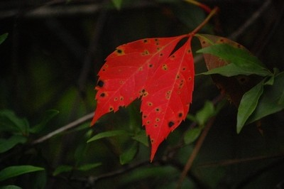 Twins red leaves