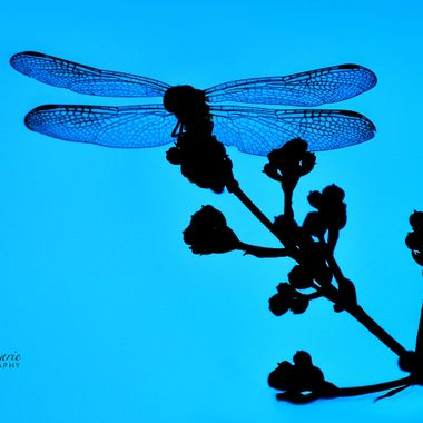 Dragonfly on Crepe Branch