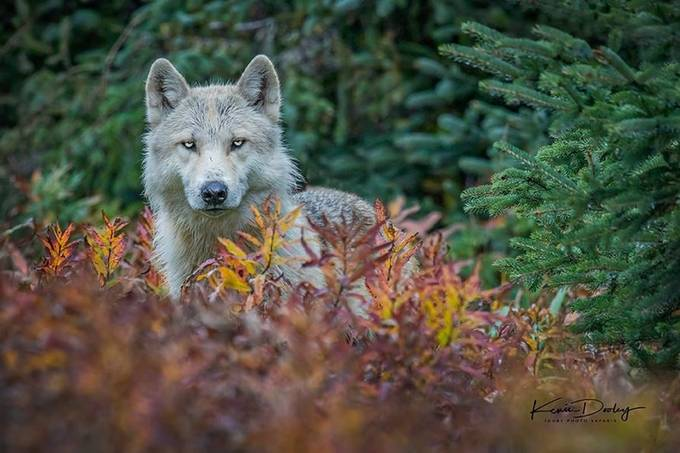 Alaskan Timberwolf  by kdooley - Wolves Photo Contest