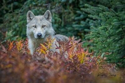 Alaskan Timberwolf